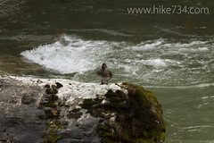 """Harlequin Duck female • <a style=""""font-size:0.8em;"""" href=""""http://www.flickr.com/photos/63501323@N07/8734396020/"""" target=""""_blank"""">View on Flickr</a>"""
