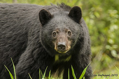 Black Bear Portrait (LisaHufnagel) Tags: bear wild nature beautiful photography nikon bc britishcolumbia wildlife northern blackbear northernbc ursusamericanus 70200mmf28 d7000