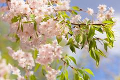 Spring joy (SolsticeSol) Tags: spring weepingcherrytreeblossoms beautifulflowerpictures beautifulflowerimages