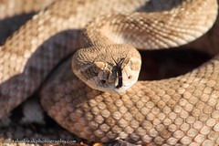 Crotalus Atrox (CrotalusfreakPhotography) Tags: wild arizona southwest nature toxic beauty animal animals landscape photography desert reptile snake wildlife gorgeous awesome western wilderness rattlesnake herp southwestern venomous herpetology crotalus crotalusatrox desertscape herping westerndiamondbackrattlesnake