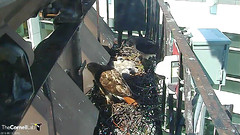 BR looks at starlings (Cornell Lab of Ornithology) Tags: red bird big university cams cornell redtailedhawk nestlings labofornithology cornelllabofornithology