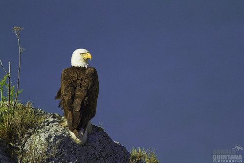 Bald Eagle, Haliaeetus leucocephalus, perched on rock outcropping at Whale Rock Reservoir, Cayucos CA
