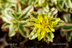 Cushion Spurge (Euphorbia polychroma) (laszlofromhalifax) Tags: canada flower garden backyard novascotia gardening ant bloom flowering halifax cushion spurge euphorbiapolychroma cushionspurge