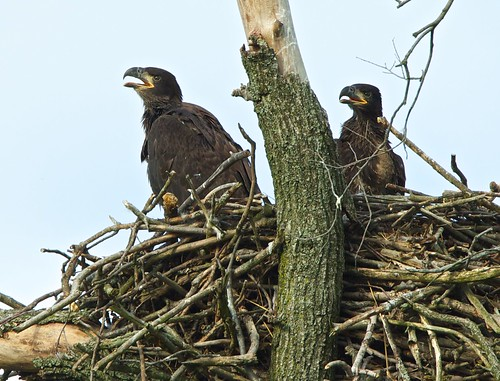 Inquisitive Eaglets