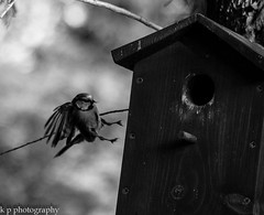 untitled-24 (keith portlock) Tags: uk bw nature birds canon wildlife bluetit eos60d