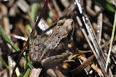 small frog (zailmcc) Tags: amphibian somerset frog mendips ukwildlife priddypools priddymineries