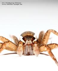 Dolomedes fimbriatus (Wolfgang Dibiasi) Tags: male beautiful spider most raft spinne aggressive predator wolfgang venomous giftig mnnchen dolomedes jagdspinne fimbriatus dibiasi plantarius giftige