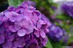 (Matryokeshi) Tags: summer rain japan tokyo hydrangea today  hortensia   macrophylla