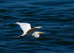 Sobre o mar azul / Over the blue sea - (Ardea alba) (Valcir Siqueira) Tags: blue sea seascape cute bird birds animal photography bonito egret garça belo