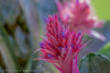 -EXPLORED- Aechmea fasciata (Urn plant / bromelia fasciada) (PriscillaBurcher) Tags: ngc bromelia aechmeafasciata silvervase piñuela flowersarebeautiful dsc0449 urnplant excellentsflowers lenguadesuegra mimamorflowers flickrflorescloseupmacros epiphyticbromeliad bromeliafasciada bromeliaepifita