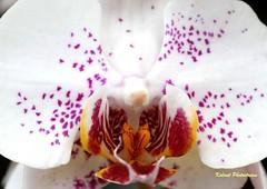 Anggrek (Kalmet_) Tags: flower macro canon indonesia flora flickr bandung bunga anggrek jawabarat arcamanik flowergroup flowermacroworld dragongoldaward canon1000d kalmet macroinstyle worldphotographersphotoss