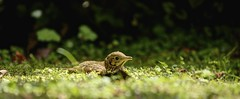 Thrush Fledgling Hiding In The Short Grass - Trebar Gardens, Mawnan Smith, Cornwall. (john lunt) Tags: uk portrait england baby west colour cute bird nature grass horizontal gardens closeup digital canon john lens eos is photo solitude cornwall loneliness natural image zoom britain mark candid pano wildlife country softness smith scene panoramic photograph ii innocence l 5d 70300mm idyllic tranquil fledgling freshness thrush trebar tranquillity turdus lunt birdlife philomelos fragility alertness tonemapped mawnan johnlunt 5dmk2