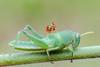 IMG_2175 (thienbs) Tags: macro mantis thienbs