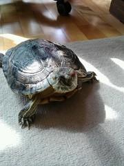 IMG_1822 (arakalada) Tags: turtle   redearturle