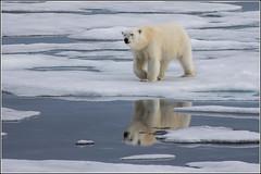 Reflections of a Polar Bear (Smudge 9000) Tags: bear summer ice svalbard arctic polarbear pack polar ursusmaritimus 2013 svalbardandjanmayen