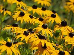 Sonnenhut (Reinhard Hfkes) Tags: flower bayern deutschland bavaria natur pflanze gelb blume insekt biene sonthofen blten allgu sonnenhut schwebefliege olympuse450