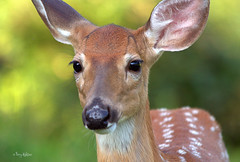 Fawn Close Up (Terry Aldhizer) Tags: summer baby wildlife deer fawn terry otter peaks buck aldhizer terryaldhizer terryaldhizercom