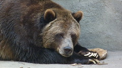 """Grizzly Bear Relaxing 2 • <a style=""""font-size:0.8em;"""" href=""""http://www.flickr.com/photos/77994446@N03/9642889536/"""" target=""""_blank"""">View on Flickr</a>"""