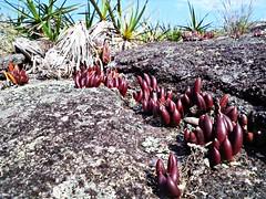 Parque Estadual do Ibitipoca - MG (Nina Salman) Tags: parque flores orchid flower do flor na cerrado orchidee ibitipoca rvore amarela orqudea estadual