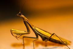 Alien returns (tom.leuzi) Tags: orange macro eye nature animal mantis insect frankreich dof bokeh head flash natur outoffocus explore makro blitz auge prayingmantis tier kopf gottesanbeterin explored canonef100mmf28macrousm canoneos7d