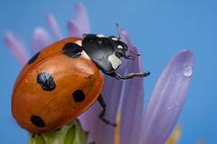 7-Spot Ladybird (steb1) Tags: macro insect beetle ladybird coleoptera coccinellidae mpe65mm lefthandbracetechnique 7sportladybird