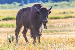 A Lone Bison (Samantha Decker) Tags: buffalo nps telephoto wyoming bison graze wy grandtetonnationalpark gtnp canonef100400mmf4556lisusm canoneos60d samanthadecker adobephotoshopcs6