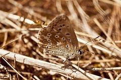 Schmetterling IV (grosser_Salat) Tags: macro sand klein mainzer grn blume makro gros schmetterling 25mm extensiontube flgel kenko fhler zwischenring zwischenringe