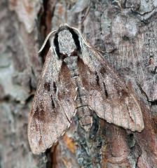 Pine Hawk-moth - Weeting, Norfolk (wazeemo) Tags: nature insect wildlife norfolk moth nwt lepidoptera 300mm sphingidae hawkmoth weeting 50d hyloicuspinastri pinehawkmoth