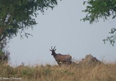 Topi (Hans Olofsson) Tags: africa animal uganda topi ecoturism damaliscuslunatus ishasha qweenelisabeth