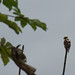 """Laughing Falcon (Herpetothere cachinnans) • <a style=""""font-size:0.8em;"""" href=""""http://www.flickr.com/photos/101688182@N03/9772416055/"""" target=""""_blank"""">View on Flickr</a>"""