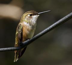 Rufous Hummingbird -- Juvenile Female (Selasphorous rufus); Santa Fe National Forest, NM, Thompson Ridge [Lou Feltz] (deserttoad) Tags: mountain newmexico bird nature forest hummingbird migration wildbird