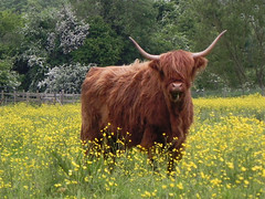 LOOKIN AT YOU by Geoff Cheesman (Geoff 42) Tags: field yahoo google all cattle geoff wave images farmland highland rights getty reserved licence flicker request buttercups cheesman geoff42
