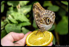 Butterflies at Carleton University (Phil Kinsman (Olwebhound)) Tags: butterfly university ottawa insects greenhouse closeups carleton butterflycarleton
