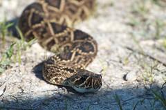 _DW12521 (Upstate Dave) Tags: florida snake rattlesnake easterndiamondbackrattlesnake reptilesandamphibians babcockwebbwildlifemanagementarea