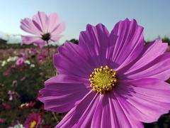 Wow (@o@;  (FujiFilm X10) (potopoto53age) Tags: plant flower apple yellow japan closeup wow tokyo aperture pinkflower  fujifilm  fujinon cosmos  x10   appleaperture superebc potopoto53age showakinenparktachikawa fujifilmx10 fujinonsuperebc21mm112mmf20f28 21mm112mm f20f28
