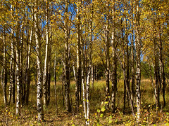 Aspen Trees (Batikart) Tags: travel blue autumn trees light vacation sky usa oktober sun mountain holiday mountains green fall nature colors leaves yellow