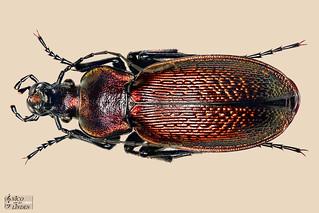 Carabus Morphocarabus Praecellens-Praecellens - Female