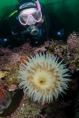 Now That's What i Call an Anemone (Rich_Morton) Tags: california point photography monterey underwater scuba diving anemone richard lobos morton aquatica othree nikond7000 ad7000