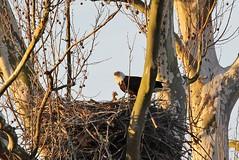 Baton Rouge Eagle nest (NatureGeek_inBR) Tags: batonrouge mississippiriver baldeagles baldeaglenest