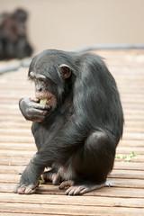 2014-01-24-12h35m24.272P7997 (A.J. Haverkamp) Tags: zoo arnhem thenetherlands chimpanzee burgerszoo dierentuin chimpansee canonef70200mmf28lisusmlens httpwwwburgerszoonl