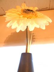 Illuminated (Steve Taylor (Photography)) Tags: shadow brown flower yellow petals glow blind pot shade lumination vision:sunset=0641 vision:text=0556