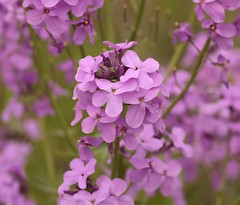 Wishing for Spring. (catherine4077) Tags: flowers nature outdoors spring wishing purpleflowers