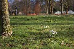 Snowdrops (L. McG.-E.) Tags: park flowers winter wales flora south snowdrops risca crosskeys waunfawrpark