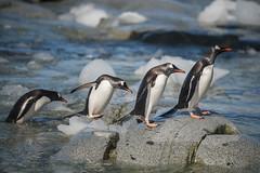 Antarctica 170 (Morten Skovgaard) Tags: travel snow cold ice expedition nature animals penguin penguins wildlife antarctica adventure seal seals iceberg zodiac polar rare plancius southpole antarktis sydpolen mortenskovgaard oceanwideexpeditions godknd