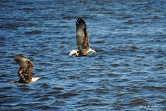 Survival or selfish? (David Sebben) Tags: winter fish nature river mississippi flying eagle bald raptor snack icy chasing