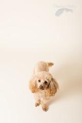 Hopeful. (Penelope Malby Photography) Tags: dog canine smalldog poodle apricot toydog handbagdog