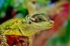 Awas Dikadalin (Winner Indi Manega) Tags: colour nature water colors animal indonesia zoo dragon turquoise wildlife lizard iridescent yogyakarta waterdragon aspera coloration kebun reptilia nusantara kadal visitindonesia gembiraloka visitjogja kadalkebun