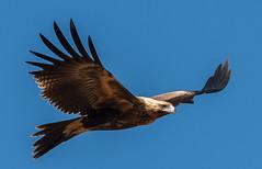 Wedge-tailed Eagle (Aquila audax)-1-5 (rawshorty) Tags: birds australia act oldboboyanroad rawshorty