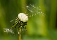 Lwenzahn (Wolkenschieber) Tags: deutschland pflanzen makro nordrheinwestfalen frhling lwenzahn hckelhoven blumenundpflanzen