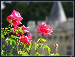 ....Château de Villandry... (fredf34) Tags: roses castle fleurs canon jardin powershot château renaissance villandry potager touraine indreetloire jardinpotager jardinàlafrançaise fredf powershots3is s3is canons3is canonpowershots3is châteaudevillandry régioncentre châteaudelaloire s3iscanon fredf34 châteaurenaissance 3ispowershot fredfu34